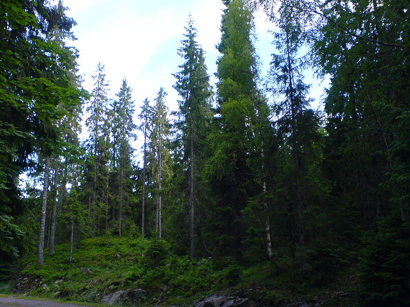 Fil:Mixed Picea (Spruce) forest from Vestfold county in Norway.jpg