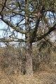 Modrzew - Larch - Marki - panoramio.jpg
