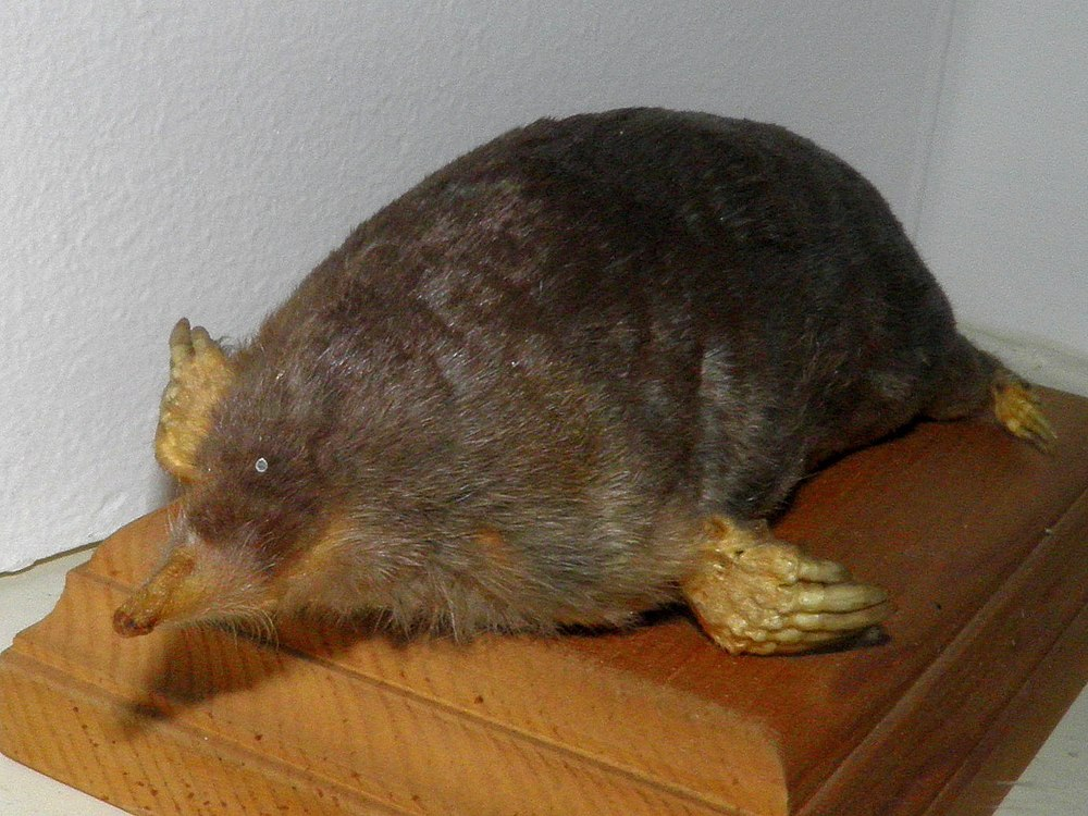The average litter size of a Japanese mole is 3