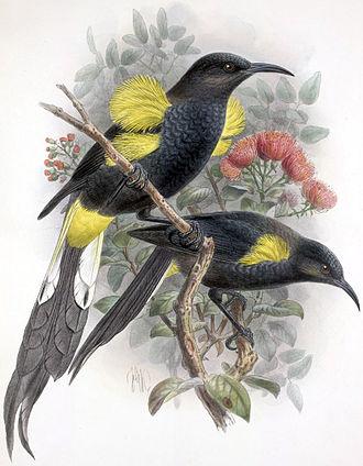 Mohoidae - Image: Moho nobilis Keulemans