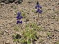 Mojave lupine, Lupinus odoratus (42112253420).jpg