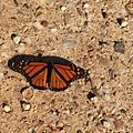 Monarch butterfly (20327964110).jpg