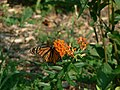 Monarch on Butterflyweed (4678376261).jpg