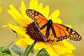 Monarch on Plains Sunflower Lacreek NWR (12842982343).jpg