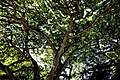 Monkeypod Tree. (10832245524).jpg