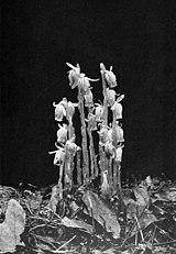 Monotropa uniflora WFNY-f021.jpg
