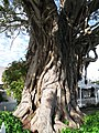 Moreton Bay Fig tree in Russell.jpg