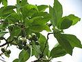 Morinda pubescens03.JPG