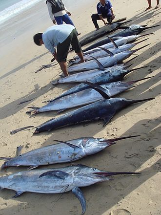 Jimbaran - Image: Morning catch of marlin at Jimbaran