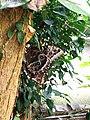 Morpho peleides, Bornholms Sommerfuglepark 39.jpg