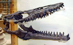 Plioplatecarpus - P.  primaevus skull