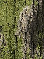 Moss on the trunk.jpg
