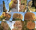 Mostly Lenzitus betulinus (the ones with the gills)(Birch Mazegill or Multicolor Gill Polypore, D= Birkentramete oder Birken-Blätterporling, F= Lenzite du bouleau, NL= Fopelfenbankje) white spores and causes white rot - panoramio.jpg