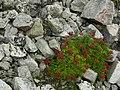 Mountain-Ash in Talus (5037717133).jpg
