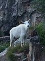 Mountain Goat - Black Hills National Forest - Jess Haglund.jpg