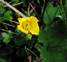 Mountain avens (Geum peckii) Close-up (9228122125).jpg