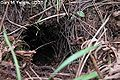 Mountain beaver burrow.jpg