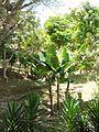 Musa × paradisiaca Linnaeus 1753 - 2013 001.jpg