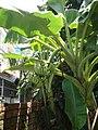 Musa acuminata × balbisiana.JPG