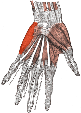 Abductor digiti minimi muscle of hand - The muscles of the left hand seen from palmar surface (abductor digiti minimi is shaded in bright red)
