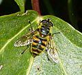 Myathropa florea - Flickr - gailhampshire (1).jpg