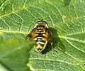 Myathropa florea f (49223472147).jpg