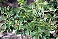 Myrciaria cauliflora 24zz.jpg