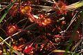 Národná prírodná rezervácia Postávka - Drosera rotundifolia, CHKO Vihorlat.jpg