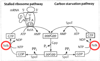 Nucleoside-diphosphate kinase - Image: NDPK pp Gpp Cycle