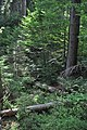NPR Boubínský prales 20120910 06.jpg