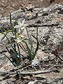 Nadala Menuda (Narcissus Dubius) 01.JPG