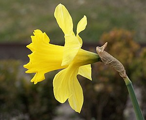 Narcissus pseudonarcissus flower (side-view)
