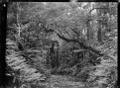 Native bush and stream at Korokoro. ATLIB 273162.png