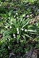 Naturschutzgebiet Haseder Busch - Märzenbecher (3).jpg