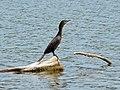 Neotropical cormorant DeSoto NWR.jpg