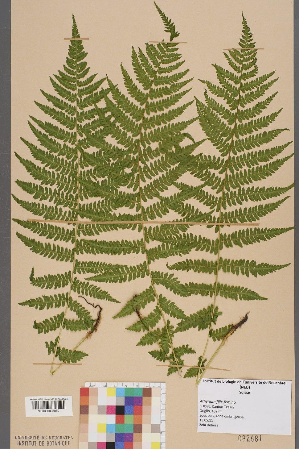 Neuchâtel Herbarium - Athyrium filix-femina - NEU000003080