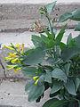 Nicotiana glauca flowers.jpg