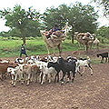 Niger nomads flee drought 16 aug 2005.jpg