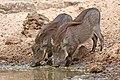 Nolan warthogs (Phacochoerus africanus africanus) juveniles drinking.jpg