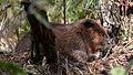 North American Beaver (Castor canadensis) - Algonquin Provincial Park, Ontario 01.jpg