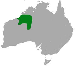 Northern marsupial mole species of mammal