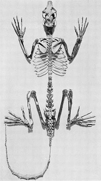 Strepsirrhini - Notharctus, a type of North American adapiform, resembled lemurs but did not give rise to them.