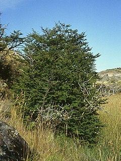 <i>Nothofagus antarctica</i> species of plant