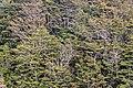 Nothofagus forest in Tongariro National Park.jpg