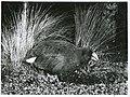 Notornis on game farm, Mount Bruce, Masterton, 1966.jpg