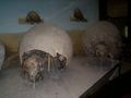Notougulados Museo de La Plata.jpg