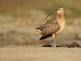 Numenius americanus (Long-billed Curlew).jpg