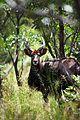 Nyala bull 4.jpg