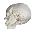 Occipital condyle05.png