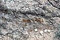 Odessa Breccia (Upper Pleistocene, 64 ka; Odessa Impact Crater, Texas, USA) 13.jpg